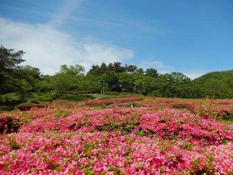 茶臼山自然植物園のつつじ