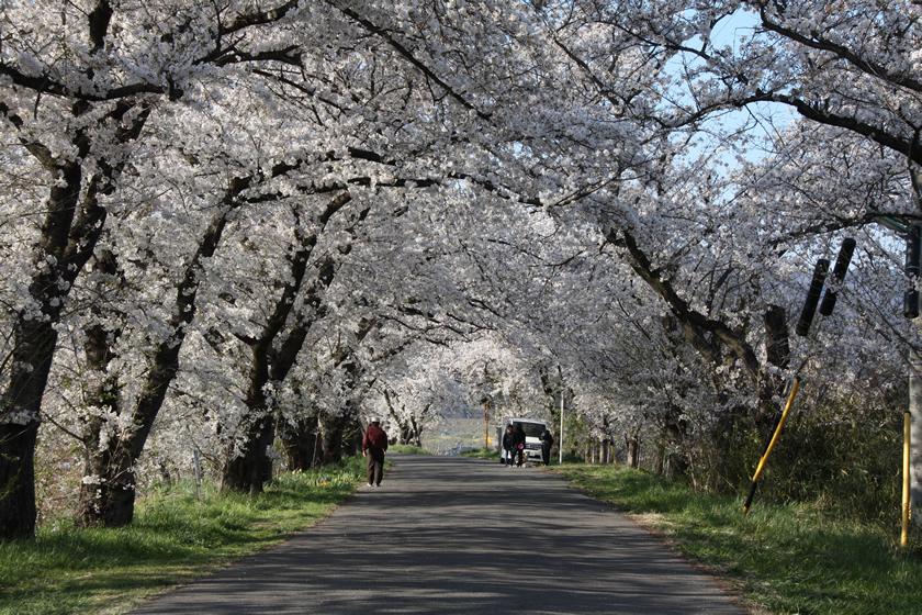 篠ノ井茶臼山の桜並木