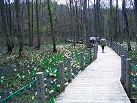 戸隠森林植物園の水芭蕉