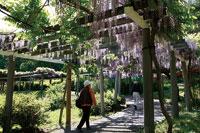 茶臼山自然植物園の藤棚