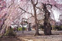 典厩寺の桜