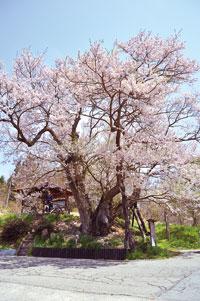 塩生の巡礼桜