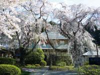 天宗寺の合掌桜