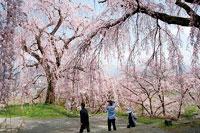 光林寺の桜