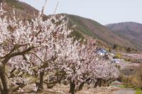 松代東条の杏の花