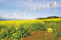 アルプス展望広場(夢の駅)の菜の花