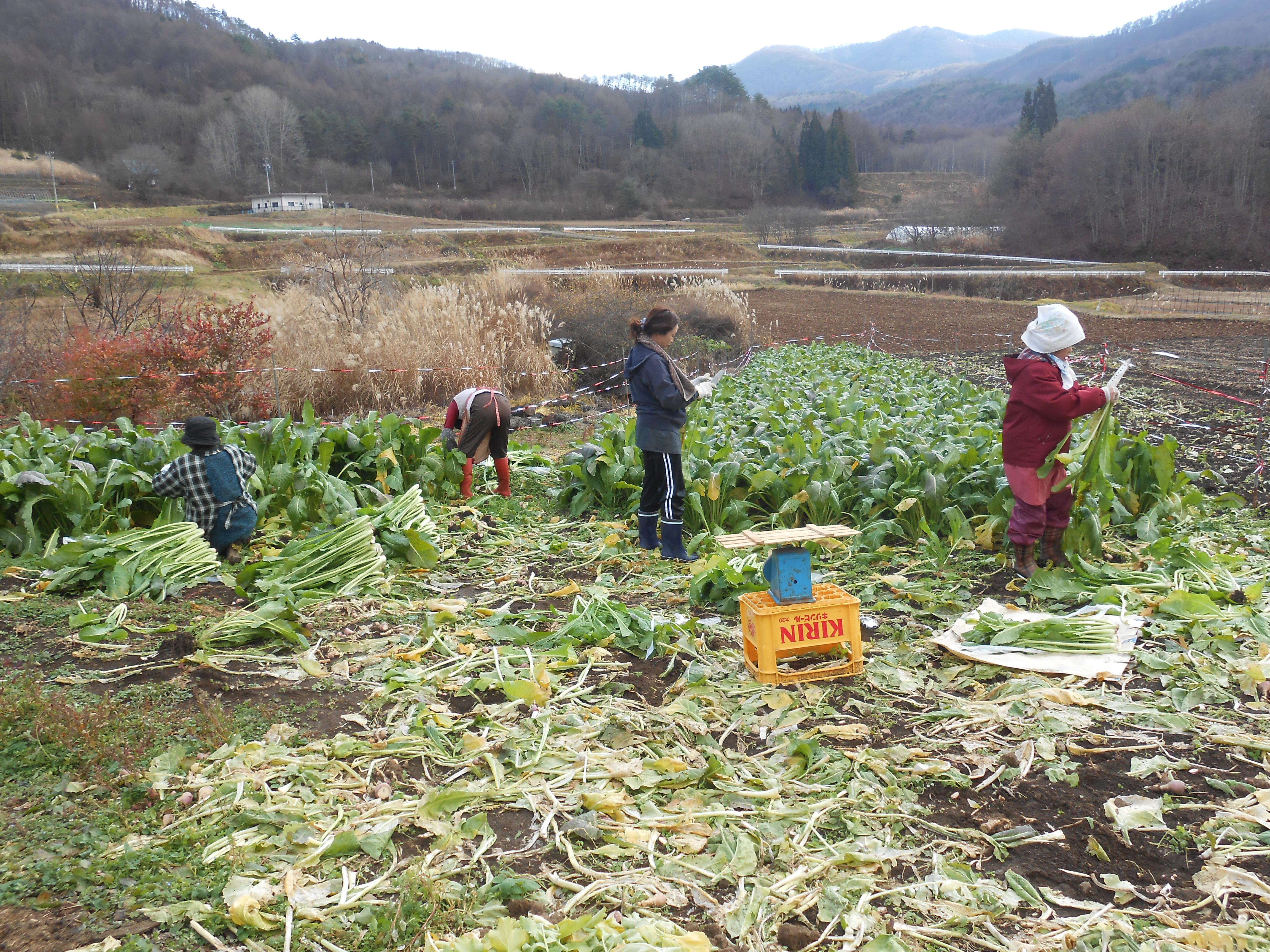 野沢菜収穫と漬物体験